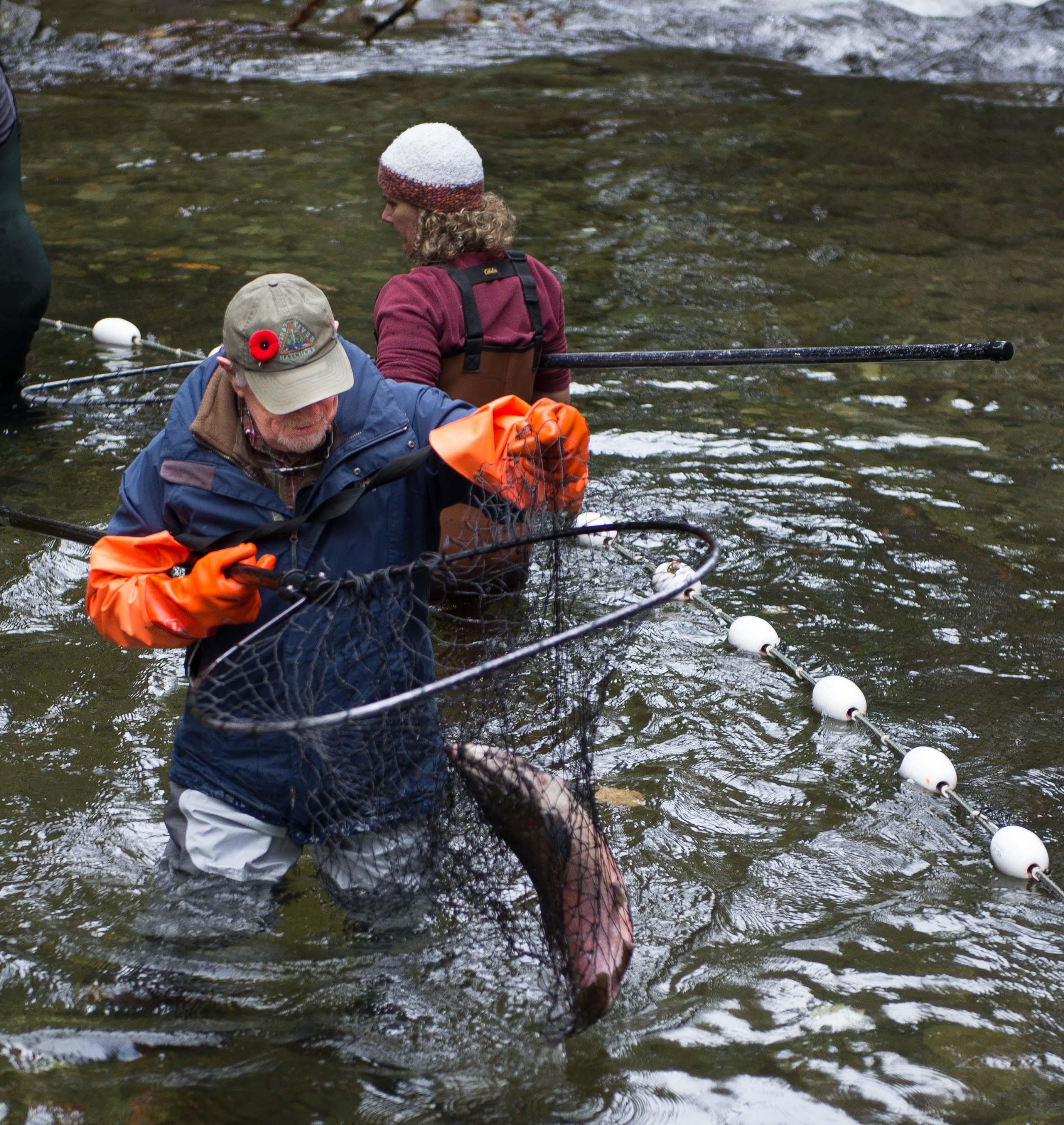 Goldstream fish hatchery victoria golden rods and reels for Fish hatchery jobs